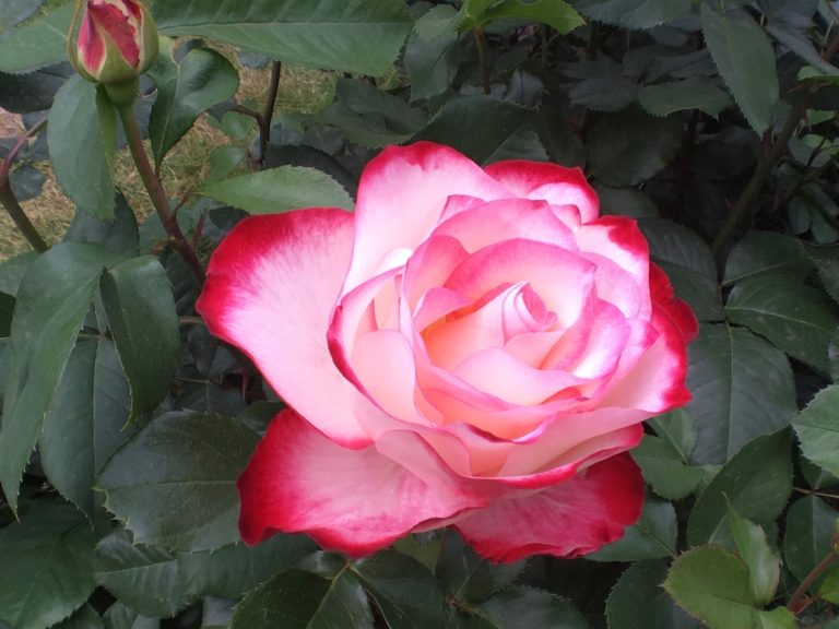 International Rose Test Garden3