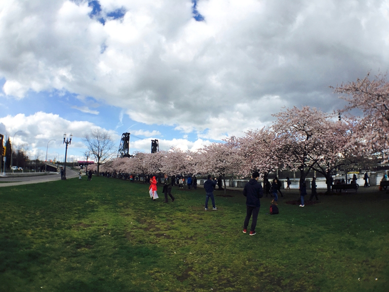 Cherry blossom trees at Waterfront Park in Portland - Oyako Portland1