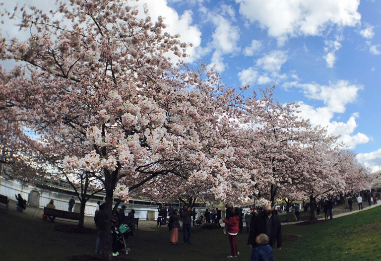 Cherry blossom trees at Waterfront Park in Portland - Oyako Portland2