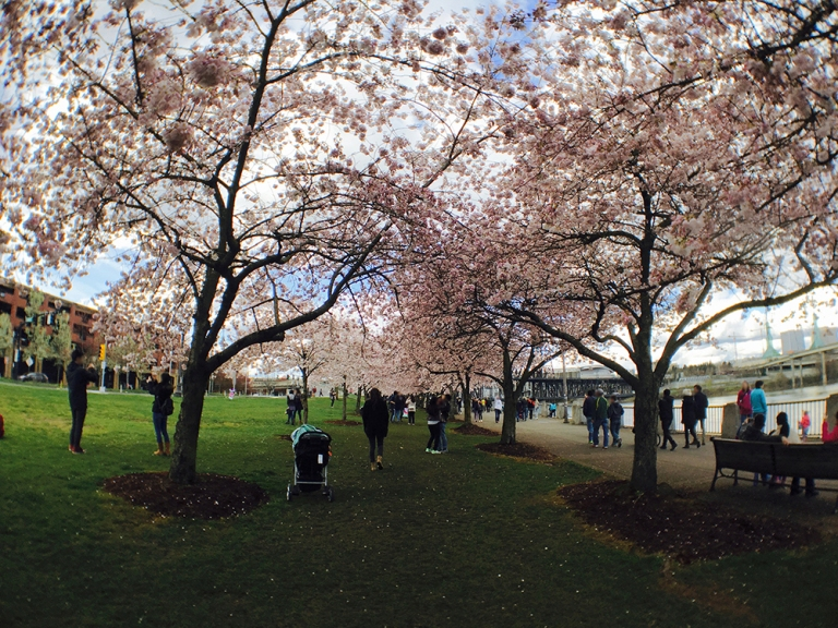 Cherry blossom trees at Waterfront Park in Portland - Oyako Portland3