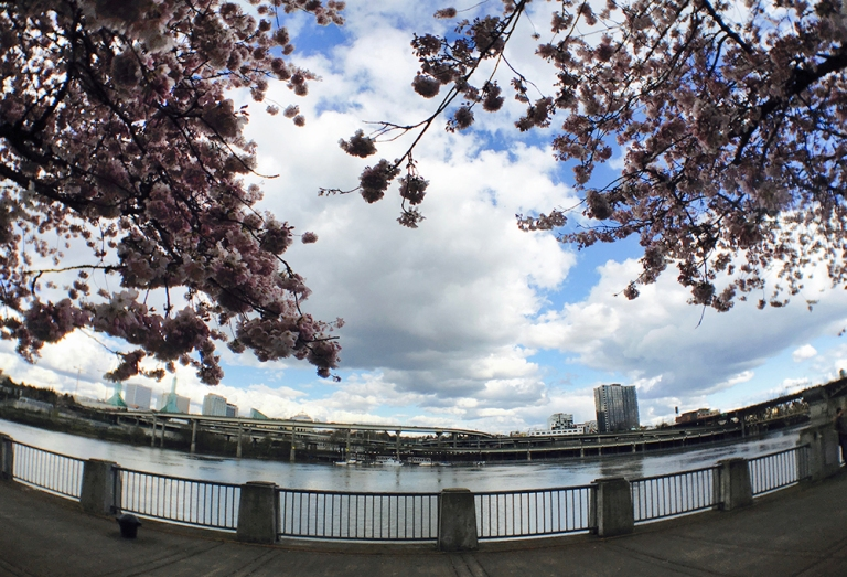 Cherry blossom trees at Waterfront Park in Portland - Oyako Portland5