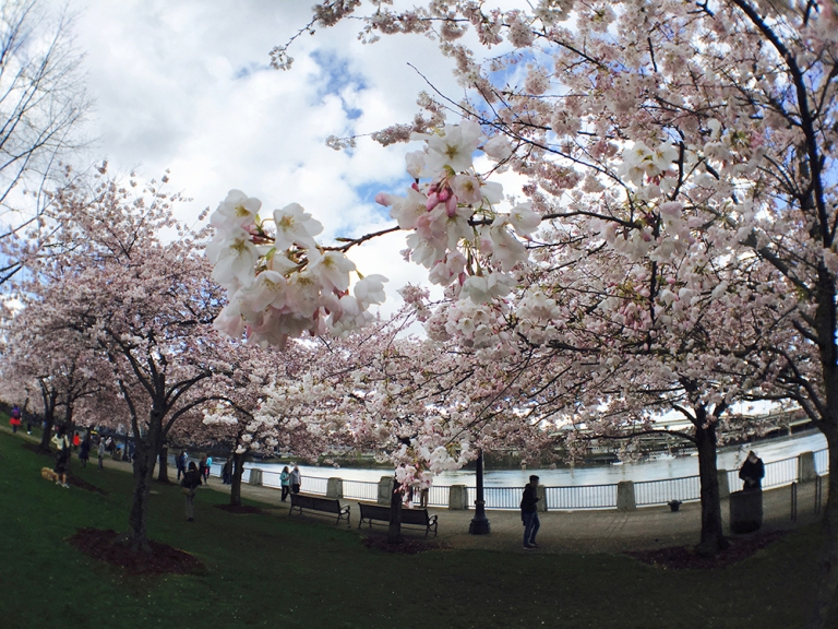 Cherry blossom trees at Waterfront Park in Portland - Oyako Portland6