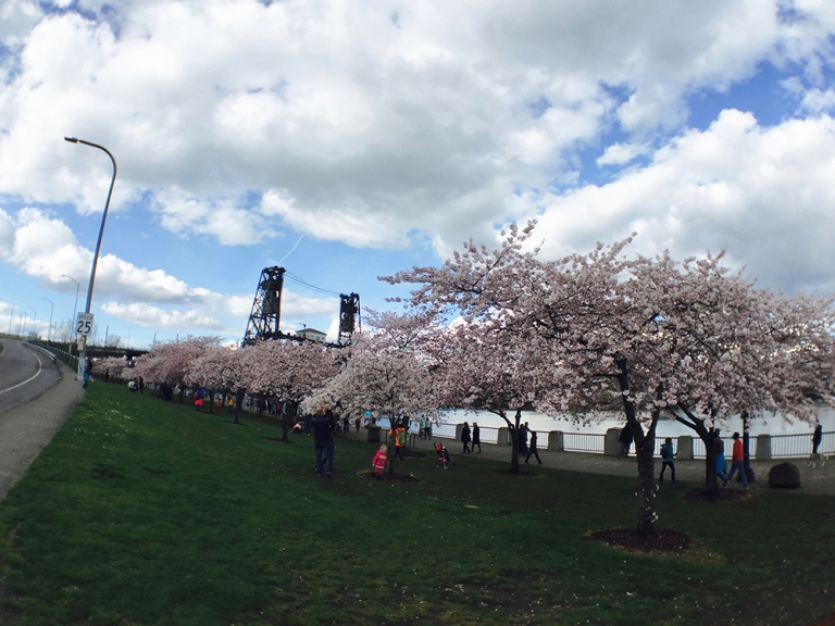 Cherry blossom trees at Waterfront Park in Portland - Oyako Portland8