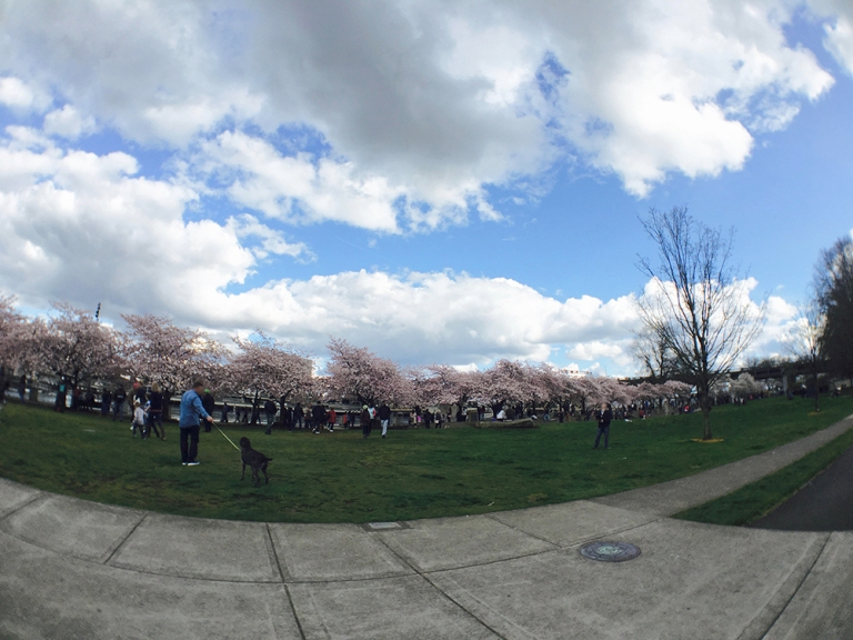 Cherry blossom trees at Waterfront Park in Portland - Oyako Portland9