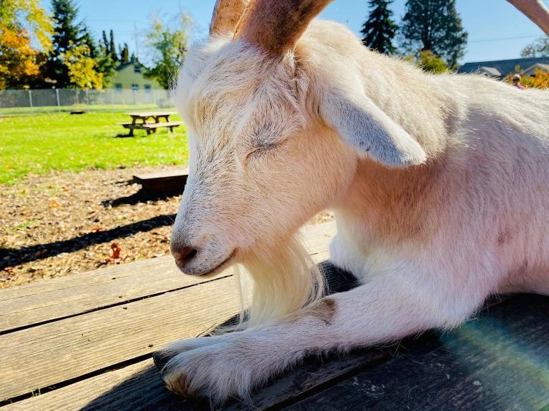 Belmont_Goats_Portland13.jpeg