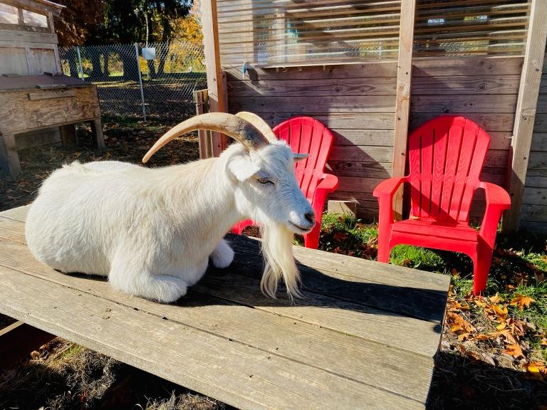 Belmont_Goats_Portland9.jpeg